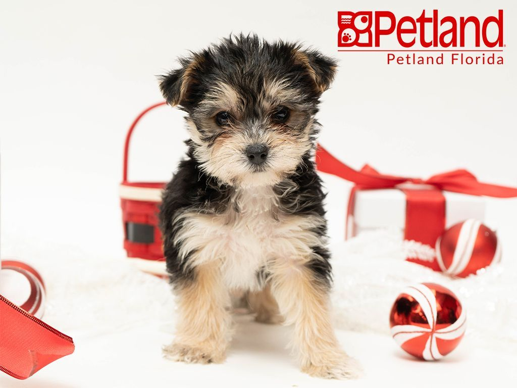 Petland Florida Has Morkie Puppies For Sale Check Out All Our Available Puppies Morkie Petlandpembro Morkie Puppies Morkie Puppies For Sale Puppy Friends