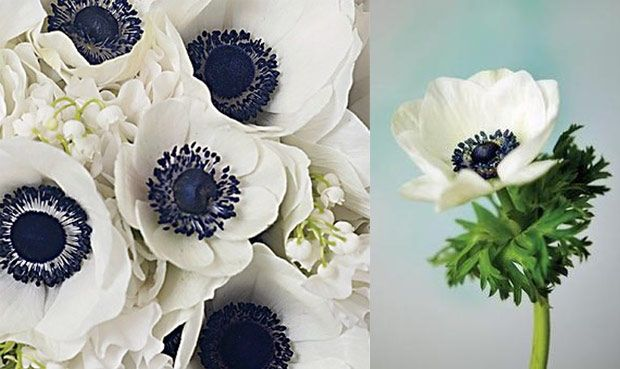 Black And White Anemones Jpg 620 369 White Anemone Anemone Flowers