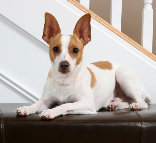 Is a Rat Terrier the right dog for you? | Rat terrier dogs, Rat ...