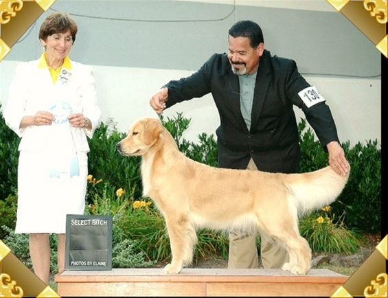 Home Page Www Pebwin Com Dogs Puppies Dog Show Labrador