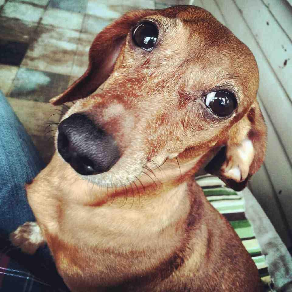Lost Doxie in Elmhurst, IL contact owner if spotted