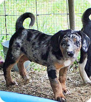Dachshund puppies for sale lexington ky