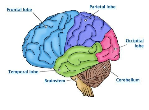 Newly born baby brain growth phases. http://www ...