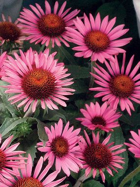 "Echinacea purpurea Lilliput. 12-18"" .  Early Summer to Early Fall.  Front garden near shrubs. Could plant on either side of sedum in back garden. $11.01"
