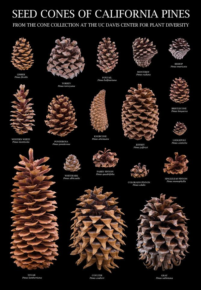 Seed Cones of California Pines (an educational pos