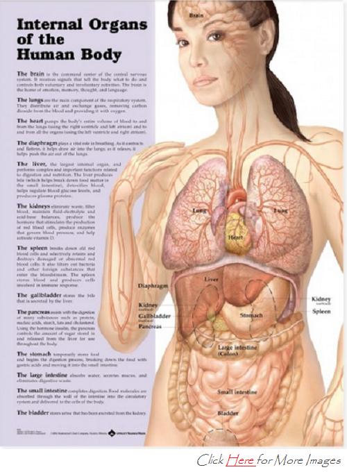 Female Human Body Diagramg 500680 Womens Health Pinterest
