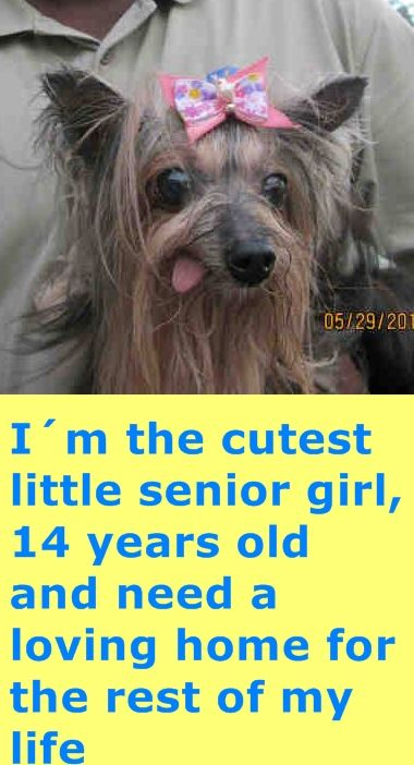Princess A1701911 I Am A Female Brown And Black Yorkshire Terrier The Shelter Staff Think I Am About 14 Years Old And I Weigh 4 Pounds I Was Confi Senior Dog