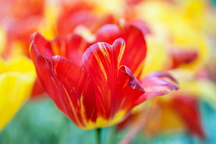 Red Tulip. The Tulips Of Holland by Jenny Rainbow