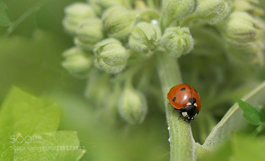 Ladybug by ikord. @go4fotos