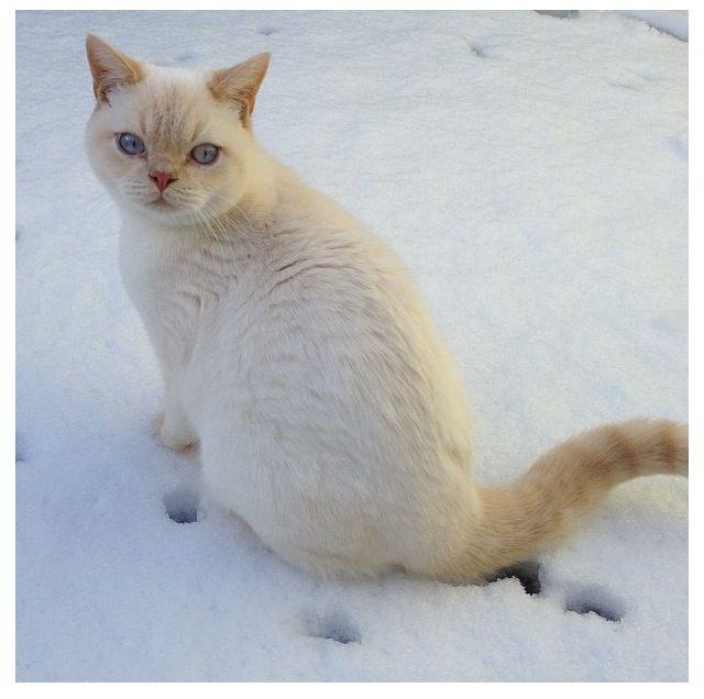 Cream Point British Shorthair So Cute Cute Animals Crazy Cats Cool Cats