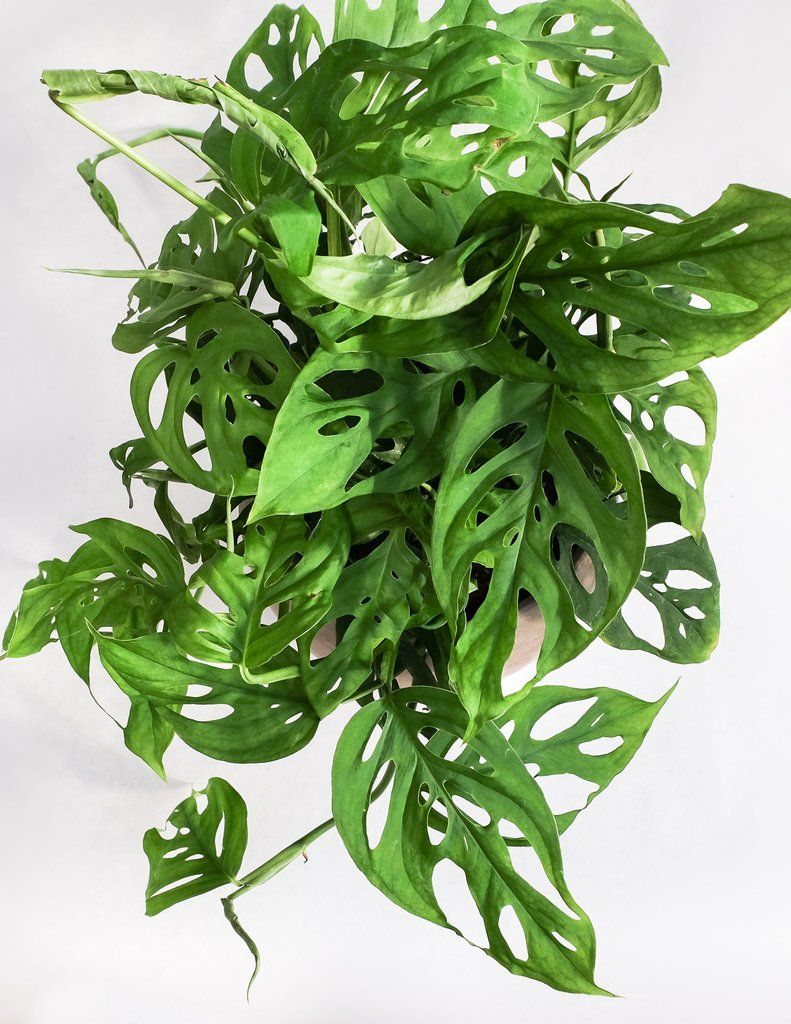 Picture of Live Monstera Swiss Cheese Vine aka Monstera adansonii Plant Fit 4 in Pot