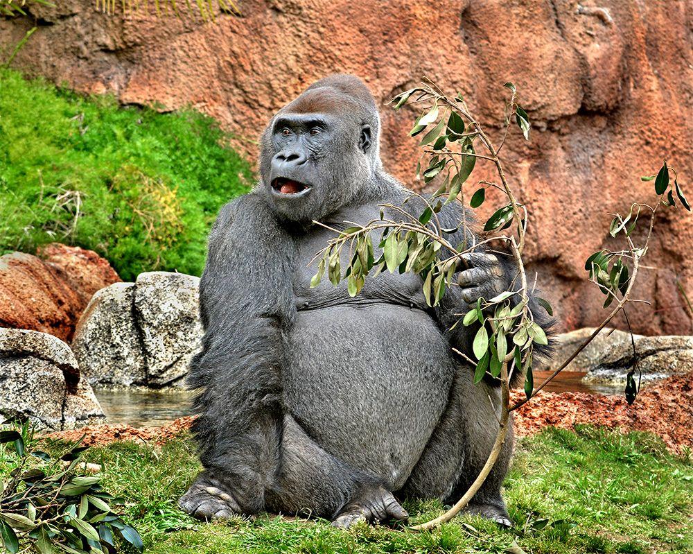 Image Gallery Los Angeles Zoo Gorillas Los Angeles Zoo Gorilla Zoo