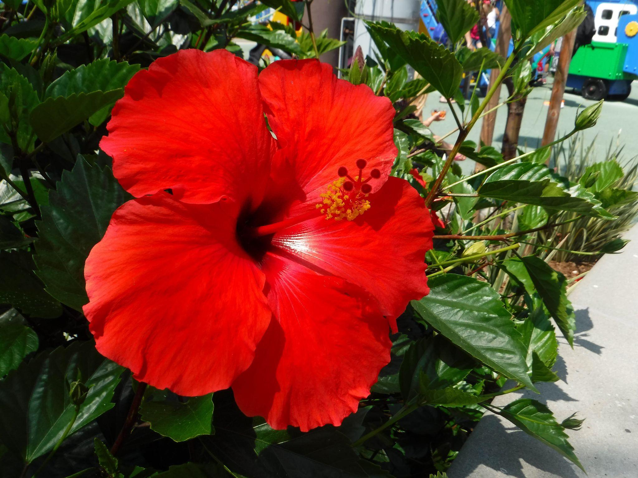 Red hibiscus flower 2048 x 1536 oc want an ipad air air 2 air red hibiscus flower 2048 x 1536 oc want an ipad air izmirmasajfo Choice Image