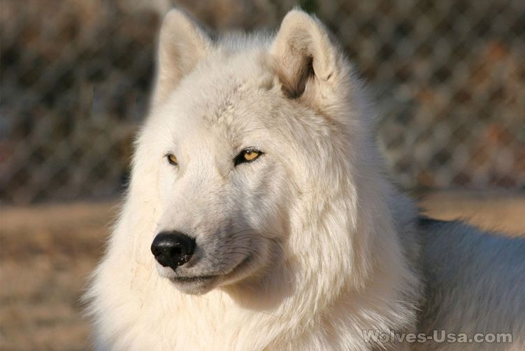 An All White Wolf Dog My Dream Dog Wolf Hybrid Dogs Wolf