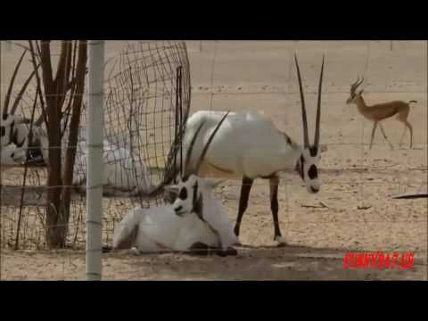 Wild Oryx Life In Nature - Animal Life