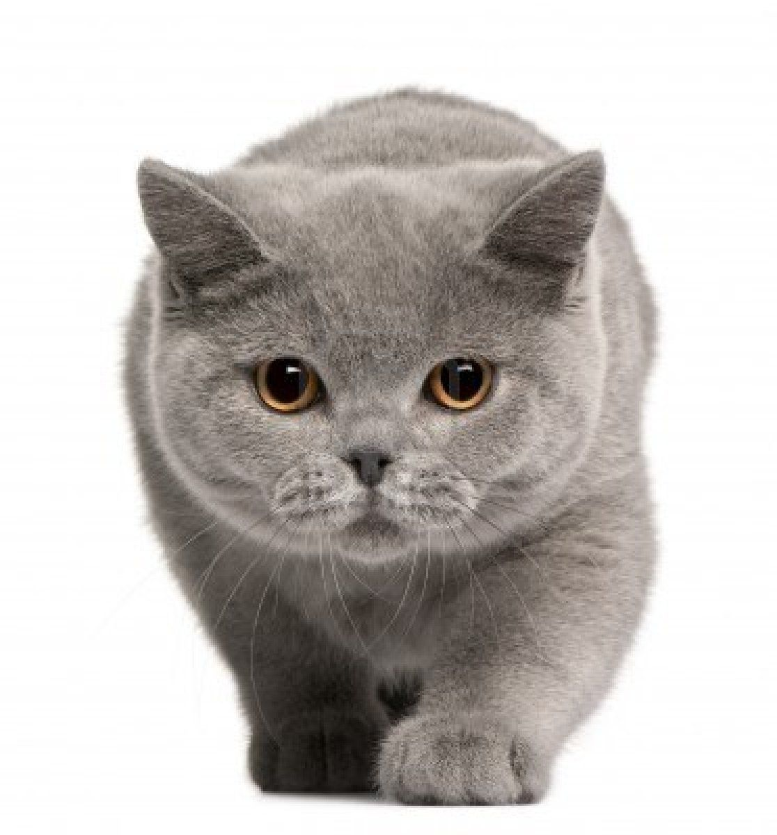 British Shorthair American Shorthair Cat British Shorthair