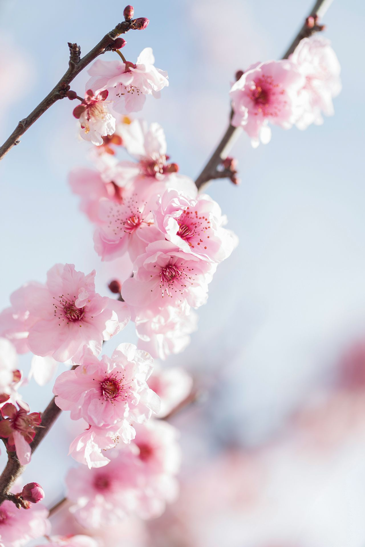 Flowers Across America A Visual Guide To Each State S Official Emblematic Flower Flower Aesthetic Cherry Flower Sakura Flower