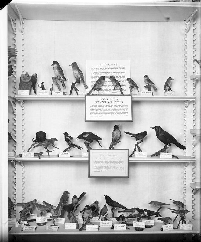 Local Birds, Seasonal Collection. American Museum of Natural History. July 1922