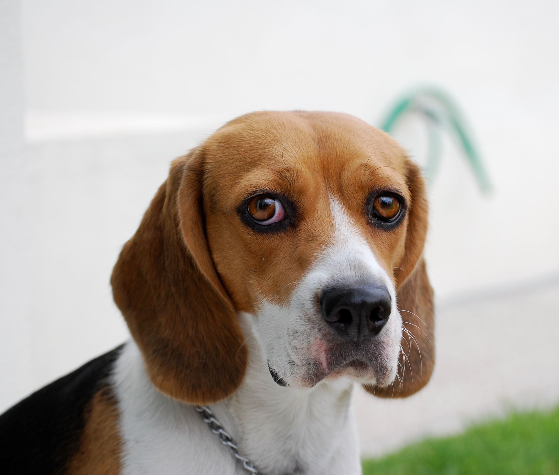 8 Different Types Of Beagles You Should To Know Beautiful