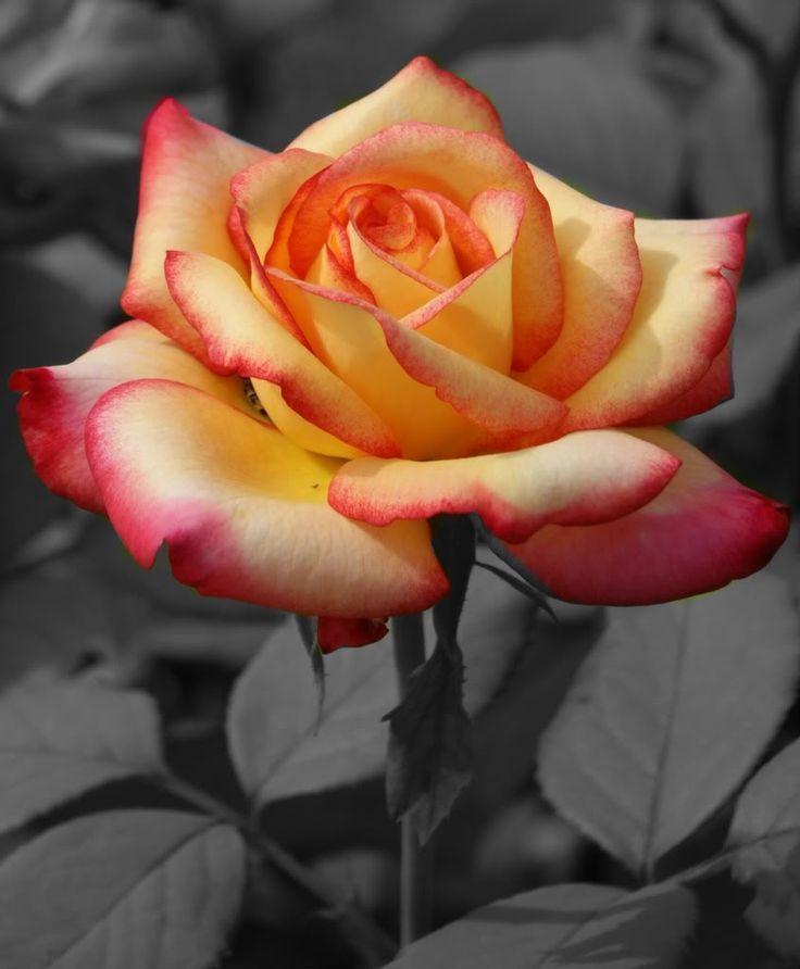 Black White With Splash Of Color Photo Rose Prettyrose