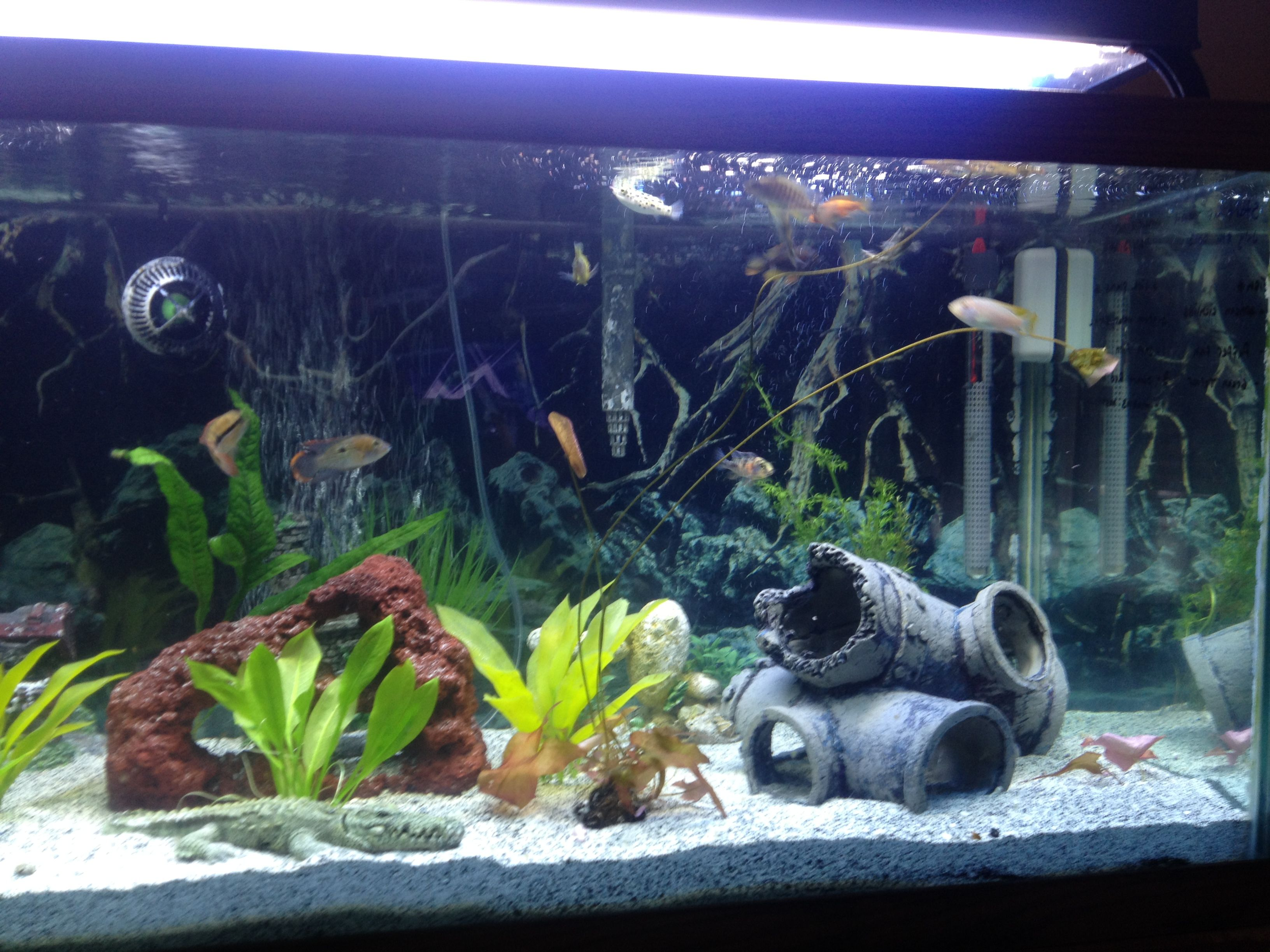 Freshwater fish tank live plants - This Is A 75 Gallon African Cichlid Tank With Live Plants Ince To Puffer Fish
