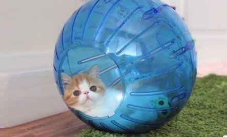 Fluffy Kittens Jump Into Toy Hamster Balls Video Fluffy Kittens Kittens Lots Of Cats