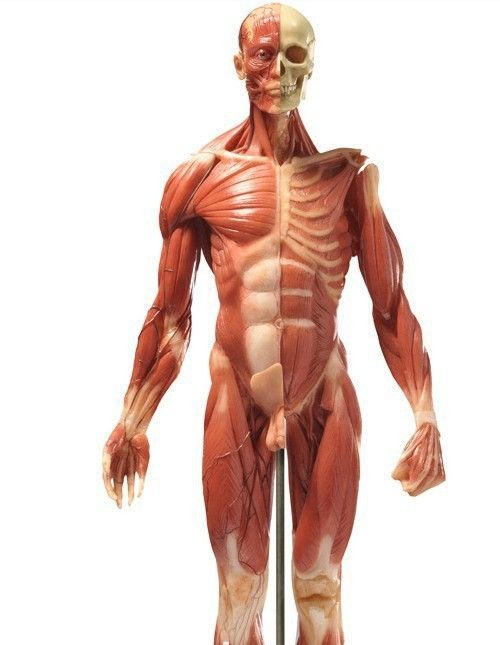 60cm abs flesh-colored anatomy muscle model for male,medical model, Muscles