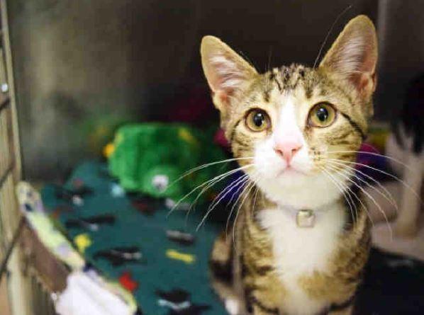 Precious A1071597 Aka Wings Kitten Adoption Cat Adoption Pets