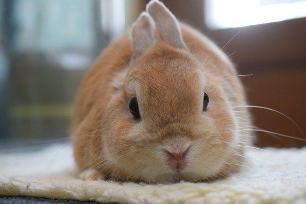 ネザーランドドワーフ オレンジ うさぎ りくくん かわいいウサギ うさぎ 猫 品種