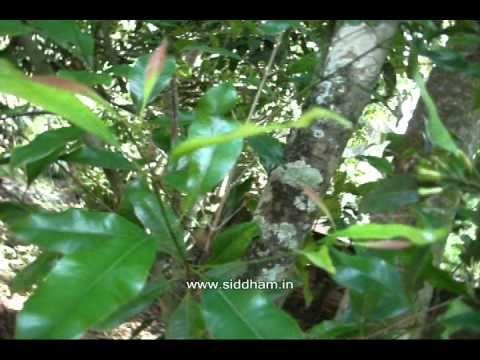 Herbal Medicine - Syzygium aromaticum - Natural Remedy for Dental diseases