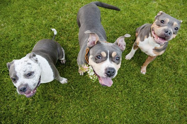 Jenny Karlsson Photography Beautiful Pit Bulls From Biggies