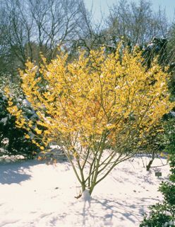 Witchhazel The Yellow Blossoms Are The Best Gift During Late