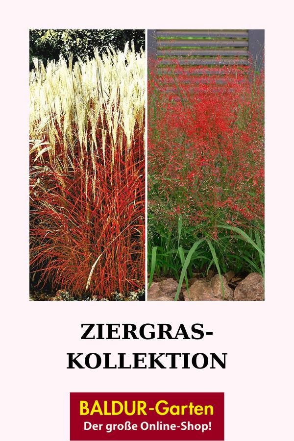 Ziergras Kollektion Stauden Kollektionen Bei Baldur Garten In 2020 Ziergras Stauden Gras