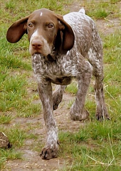 Pin By Mindy Shaffer On German Shorthaired Pointers German Shepherds German Shorthair German Shorthaired Pointer German Shepherd