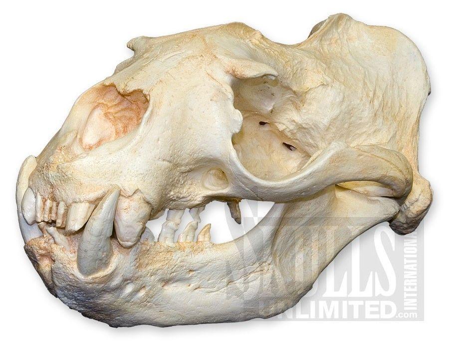 Steller Sea Lion Skull (Male) (Eumetopias jubatus) | WTQ-53 ...
