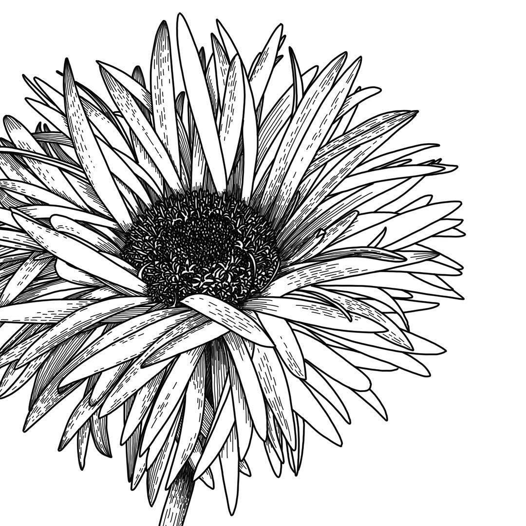 Closeup Of The Messy One Daisy Gerbera Illustration