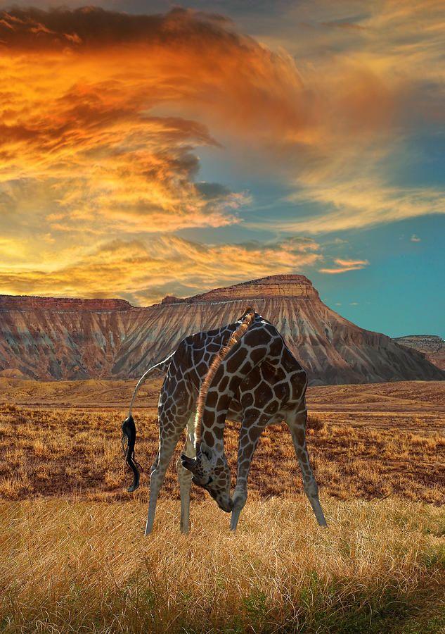 Jirafas Afrikanische Tiere