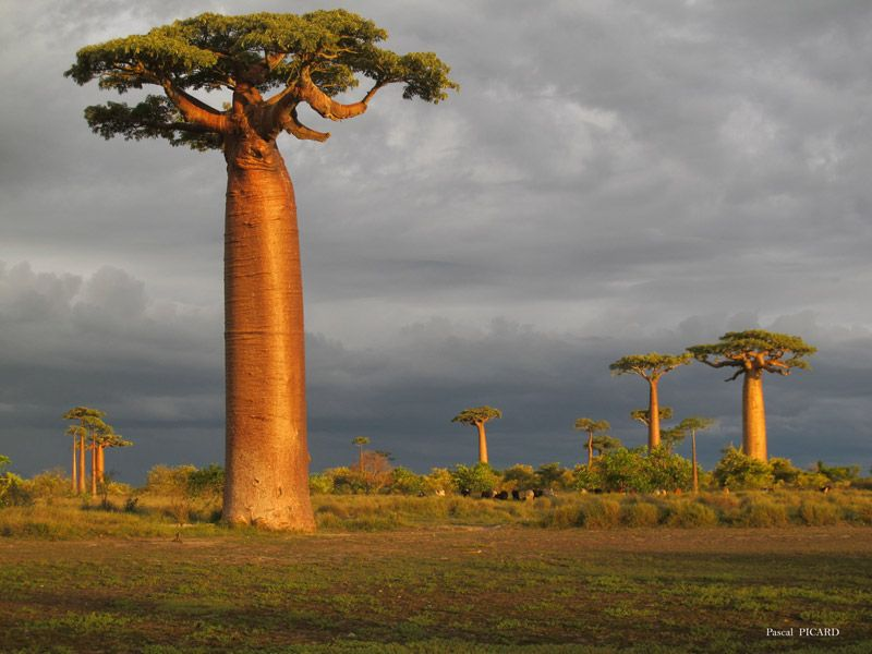 Baobab Trees Are Just So Weird Looking But I Love The Greys Contrasting With The Golden Bark Large Island Fun World Pictures