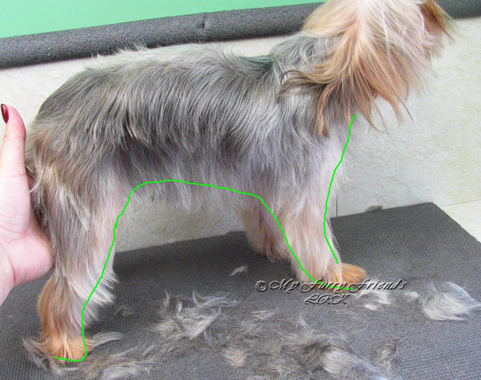 yorkies come in so many different sizes and body shapes. they also