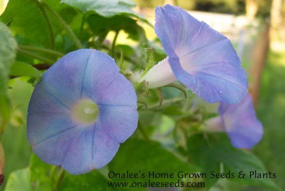 Shop By Color Blues Native Blue Ivy Leaved Morning Glory Ipomoea Hederacea Seeds Ivy Plant Indoor Morning Glory Ivy Plants