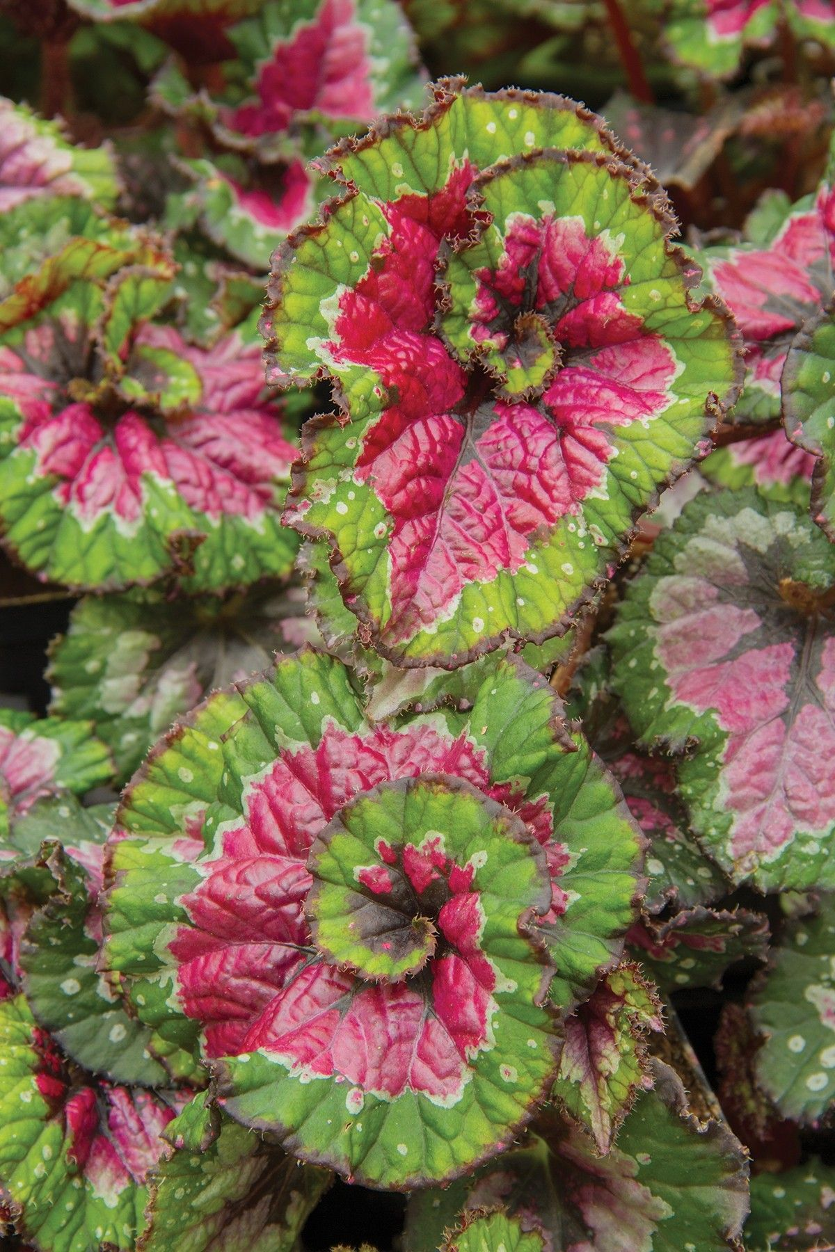 Begonia Paso Doble Begonia Rex Hybrid Named After The Swirling