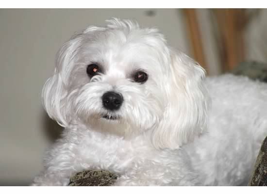 Our Puddy Pie Maltese Funny Animals Puppies