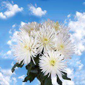 Chrysanthemums White Fuji Spider Mums 100 Flowers - http://flowersnhoney.com/chrysanthemums-white-fuji-spider-mums-100-flowers/