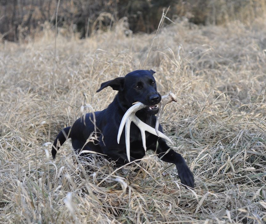 Guide To Shed Hunting With Dogs Bird Dogs Dog Training