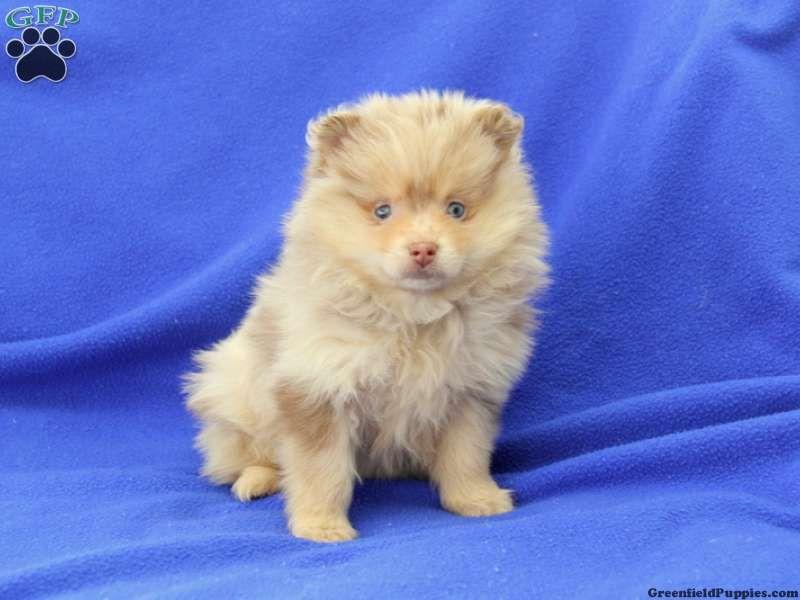 Ella pom puppy for sale from honey brook pa pomeranian