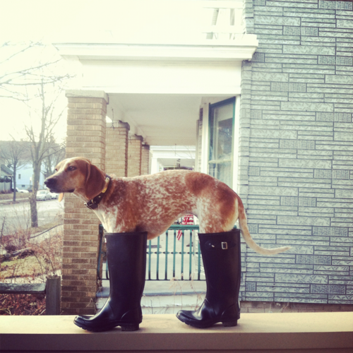 a dog in boots