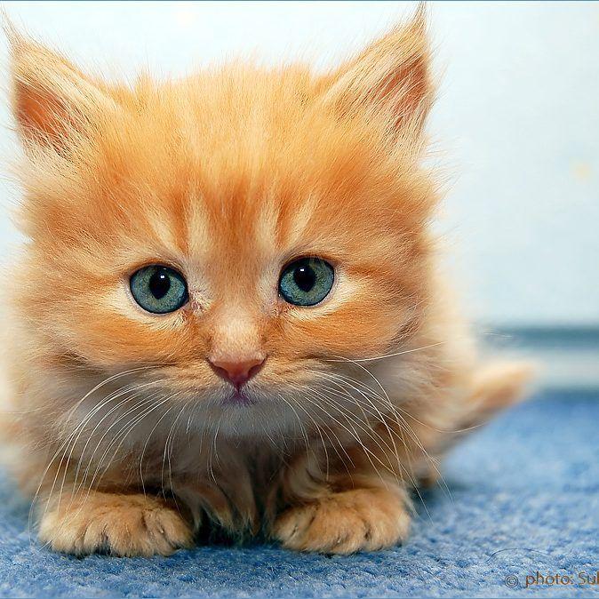 Cute Little Orange Kitten With Blue Eyes Xd Cute Cats Kittens Kittens Cutest Ginger Kitten