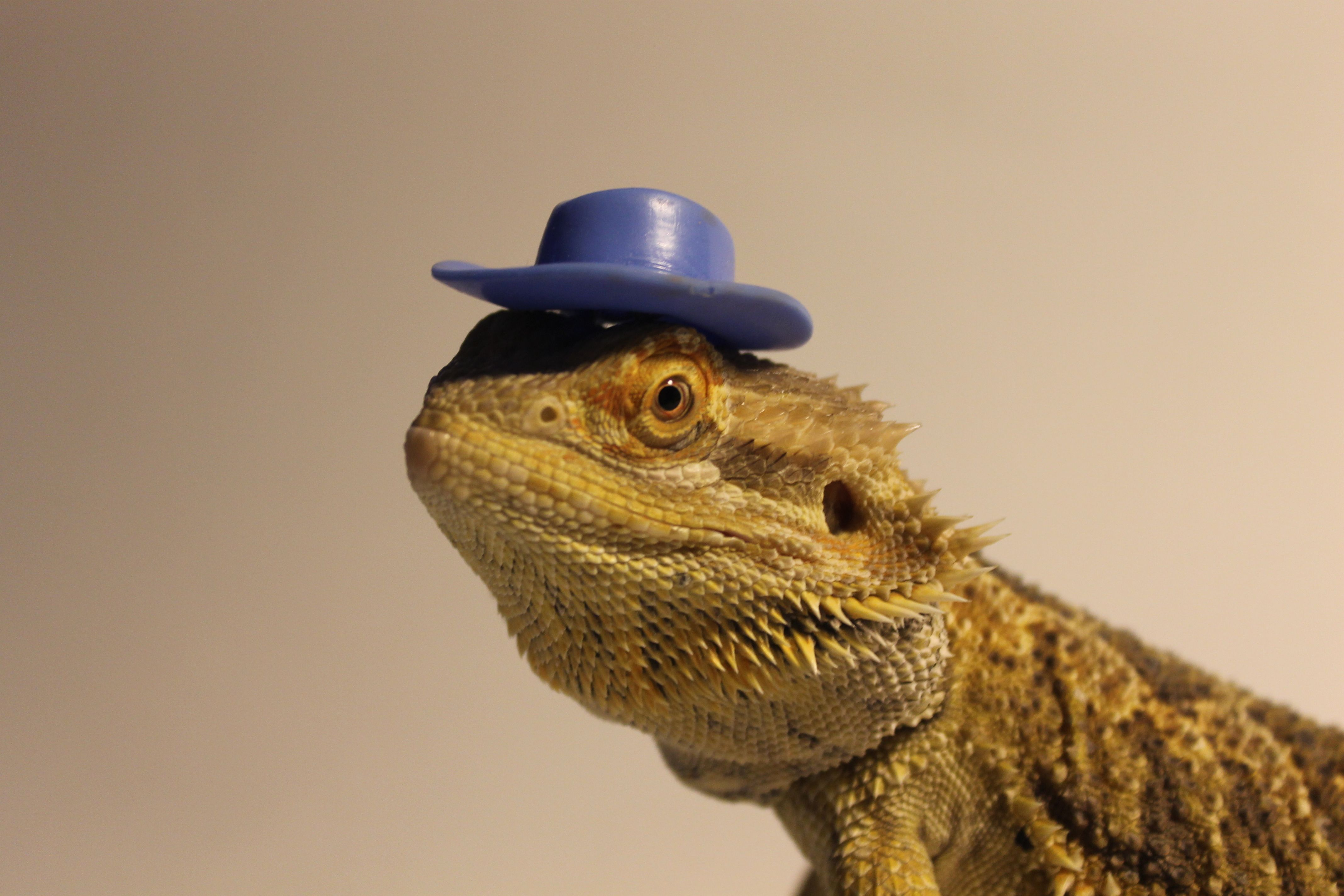 3e4976be28c1fa Oscar my bearded dragon looking simply awesome in a dolls cowboy hat ...