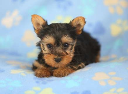 Happy Yorkie Puppies
