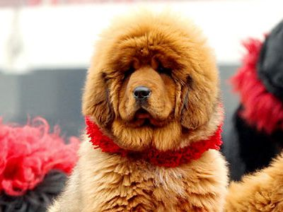 Red Tibetan Mastiff Most Expensive Dog World S Most Expensive